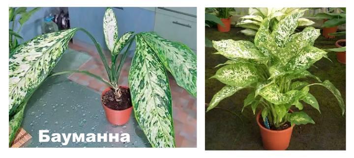 Вид растения Диффенбахия - Бауманна