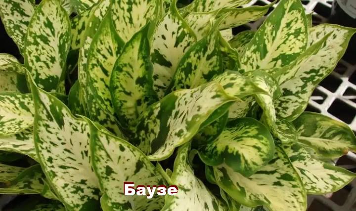Вид растения Диффенбахия - Баузе