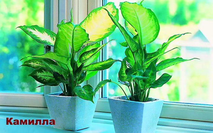 Вид растения Диффенбахия - Камилла