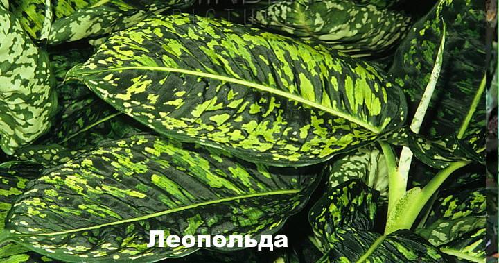 Вид растения Диффенбахия - Леопольда