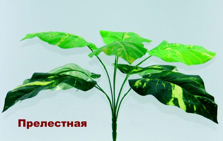 Вид растения Диффенбахия - Прелестная