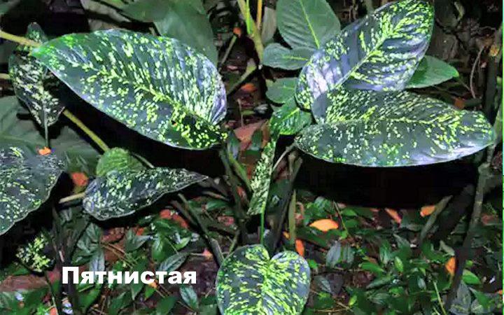 Вид растения Диффенбахия - пятнистая