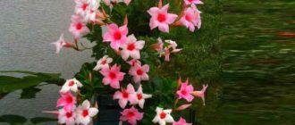 Растение дипладения