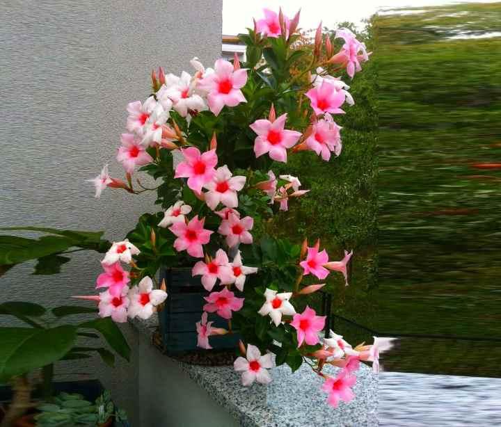 Цветок дипладения - размножение и уход в домашних условиях