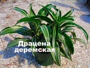 Растение драцена деремская