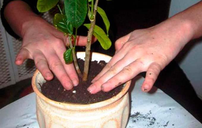 Необходимость ежегодной пересадки лимонного дерева