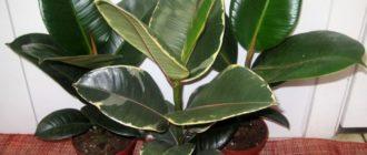 Растение фикус
