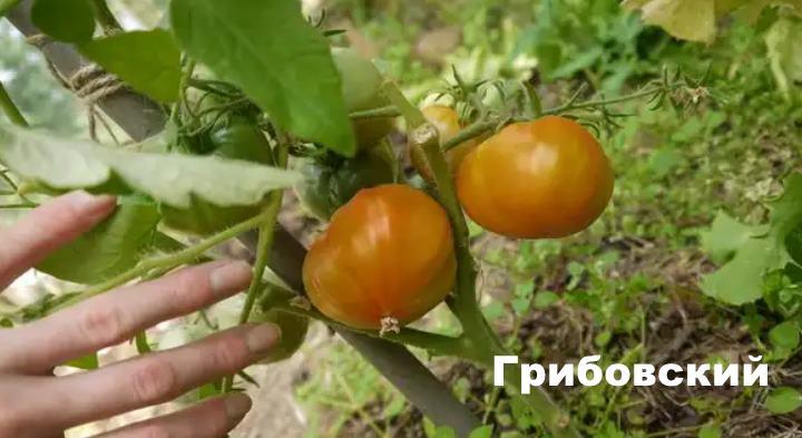 Вид растения - физалис Грибовский