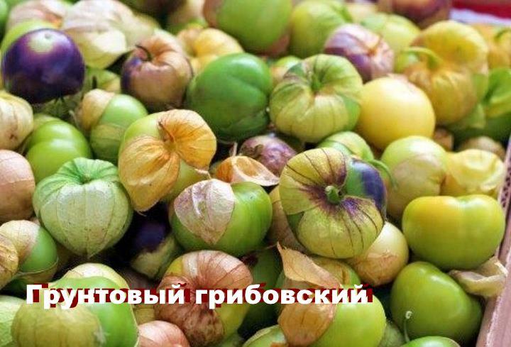 Вид растения - физалис Грунтовый грибовский