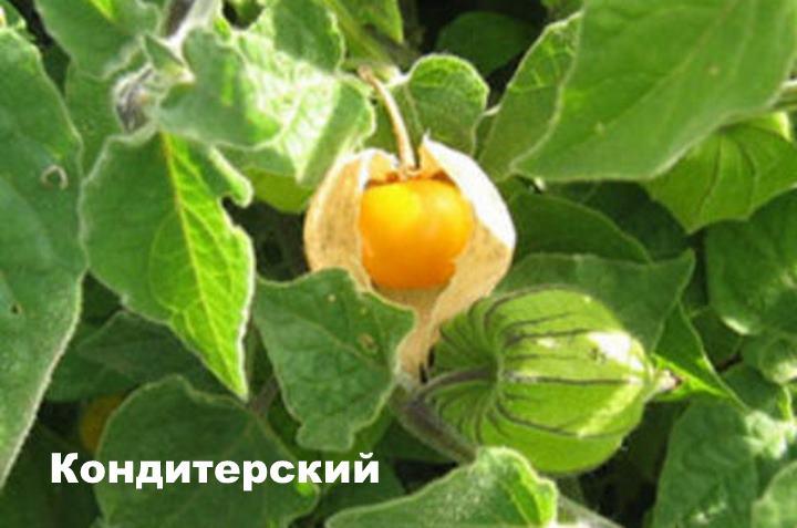 Вид растения - Кондитерский
