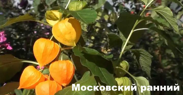 Вид растения - Московский ранний
