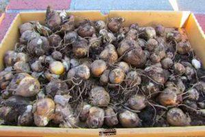 Хранение луковиц гиацинта