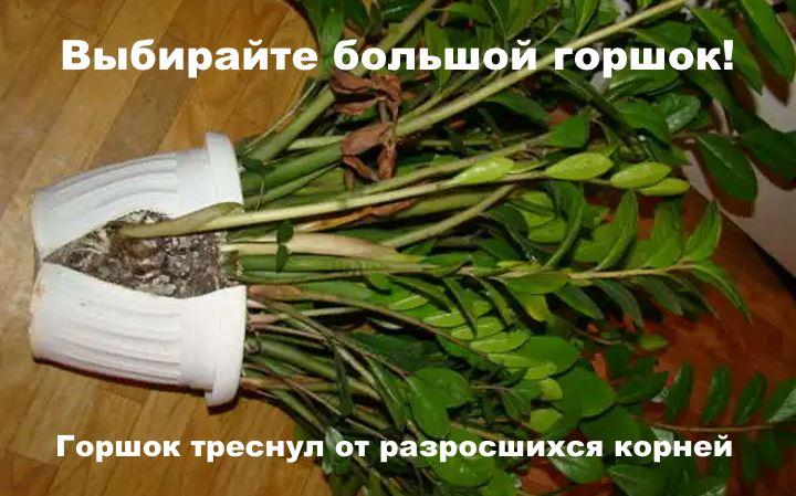 Замиокулькас разросшийся