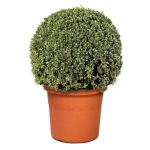 Густая зелень у самшита