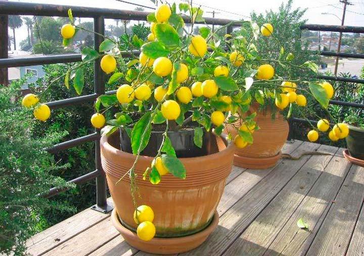 Освещение лимонного дерева