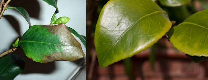 Хлороз, пожелтение листьев камелии