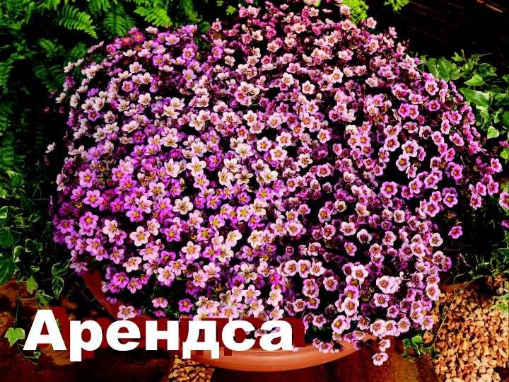Вид растения - камнеломка Арендса