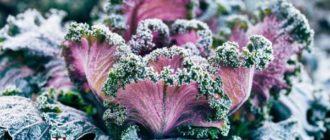 Растение декоративная капуста