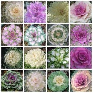 16 видов декоративной капусты