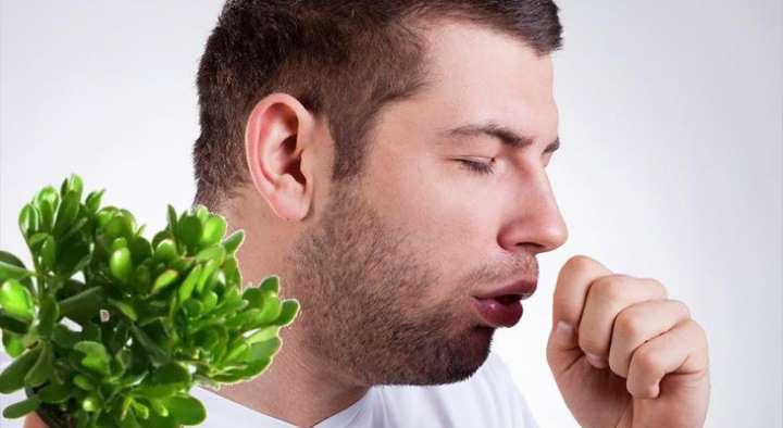 Крассула - лекарство от кашля
