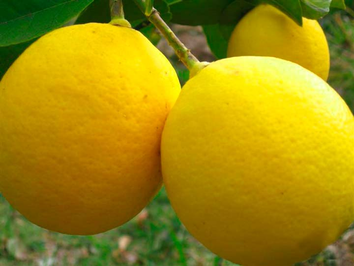Лимон «Китайский»