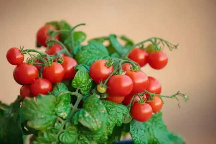 Вид пасленовых - помидоры