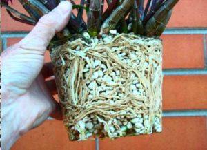 Корневая система растения в перлите