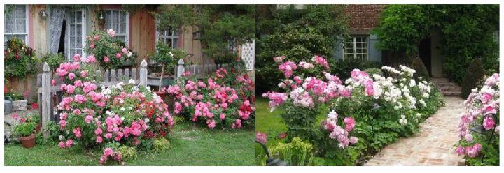 Розовая флорибунда в дизайне сада