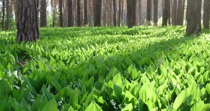 Лес и трава ландыша