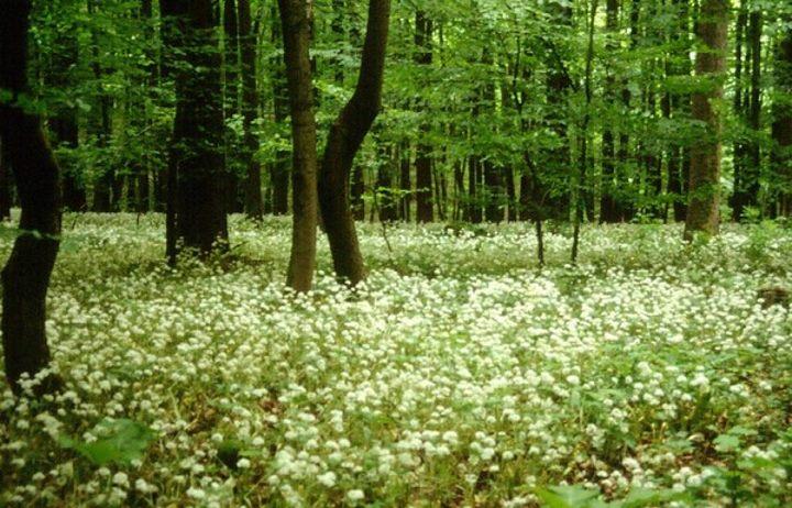 Ландыши в лесу