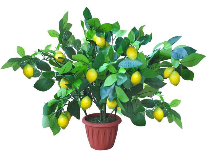 Лимонное дерево с лимонами