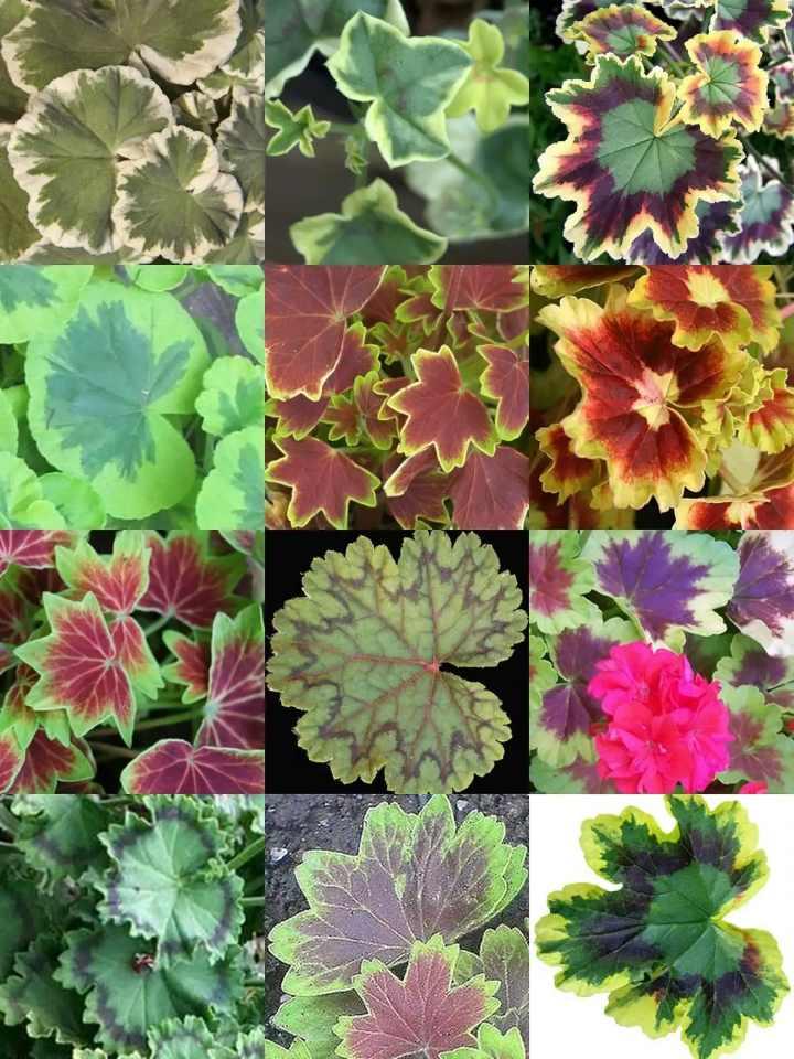 Разные листья пеларгонии