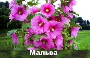Растение мальва