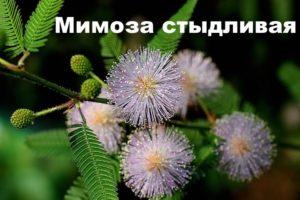 Растение мимоза стыдливая