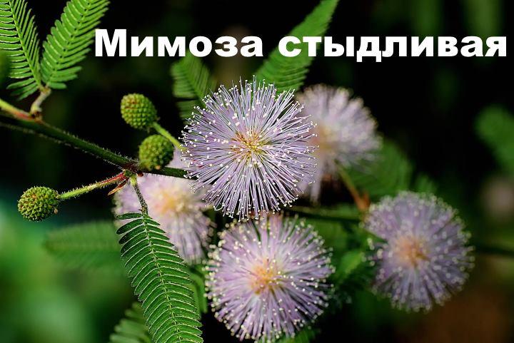 мимоза стыдливая как вырастить из семян