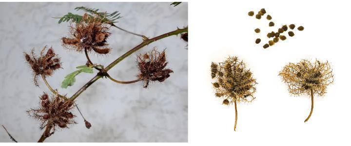 Семена мимозы своими руками