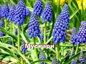 Растение мускари