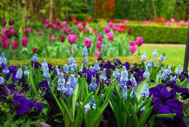 Соседство мускари с другими цветами