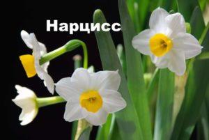 Растение нарцисс