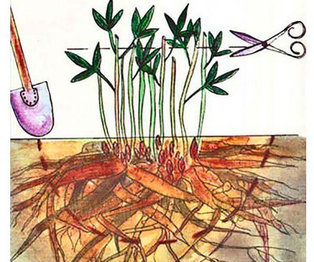 Обрезка стеблей пиона при его размножении и пересадке
