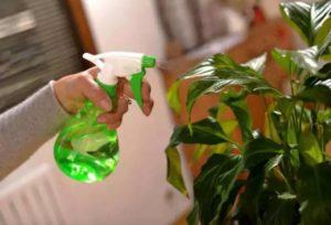 Увлажнение листьев клеродендрума