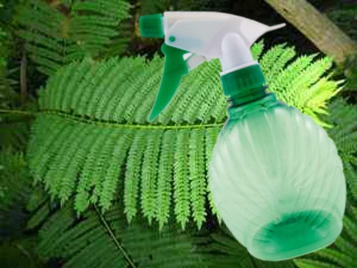 Увлажнение листьев жакаранды