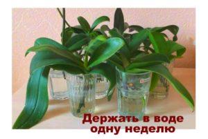 После пересадки орхидеи в воде