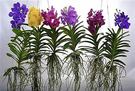 Орхидеи ванда разных цветов