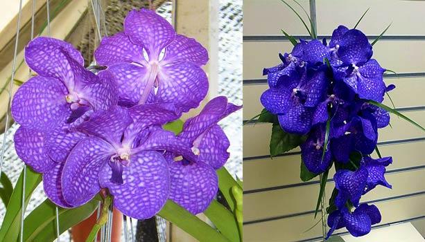Синяя и простая орхидея ванда