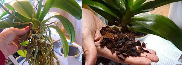 Пересадка орихидеи Ванда