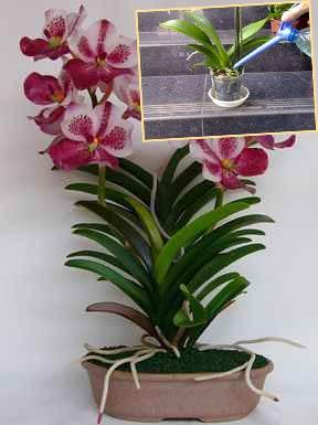 Орхидеи Ванда и полив