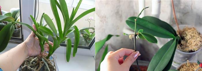 Чернковое размножени орхидей Ванда