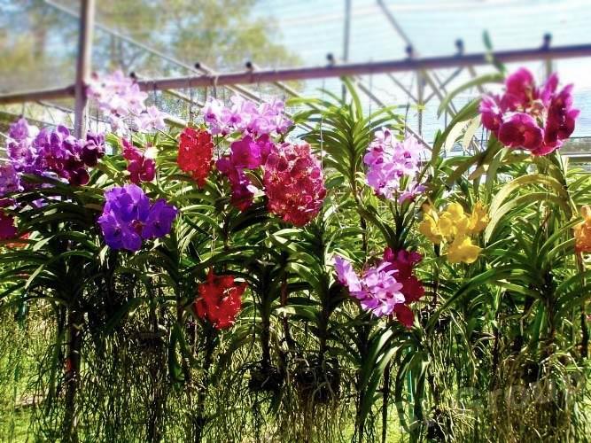 Цветущие в теплице орихидие Ванда