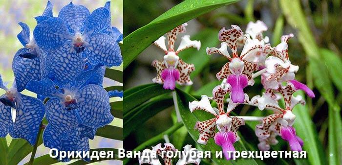 Орихидеи Ванда голубая и трехцветная